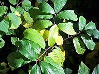 Frangula alnus with magnesium deficiency.jpg