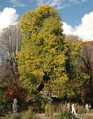 Narrow-leaved ash (Fraxinus angustifolia) in Paris in the Jardin des Plantes