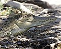 Freshwater crocodile - Mary River, Northern Territory.jpg