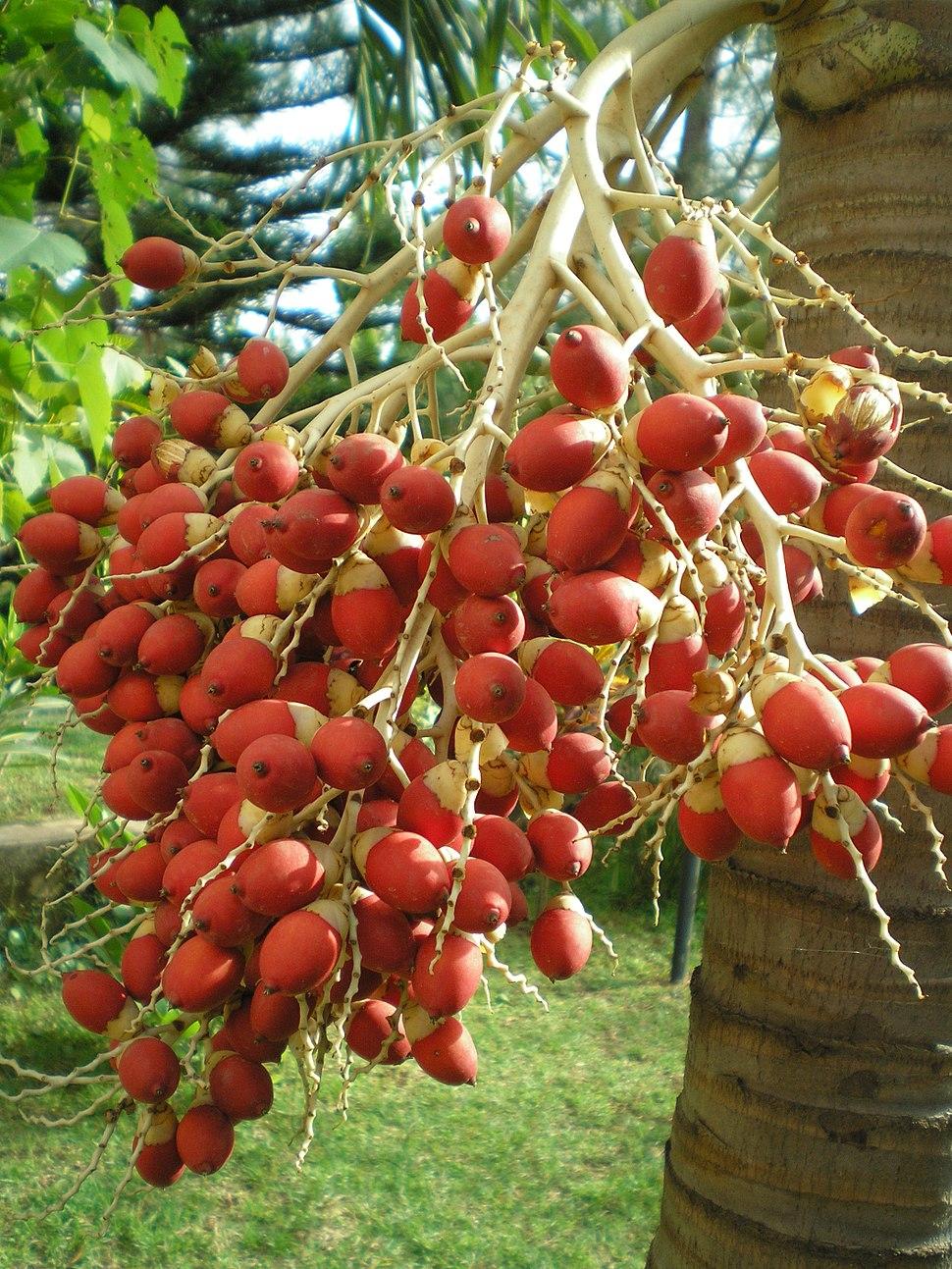 Fruits of Royal Palm
