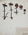 Fungi agaricus seriesI 069.jpg