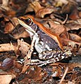 Fungoid Frog Hydrophylax malabaricus by Dr. Raju Kasambe best DSCN1028 (3).jpg