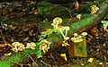 Fungus, Crawfordsburn Glen (19) - geograph.org.uk - 965683.jpg