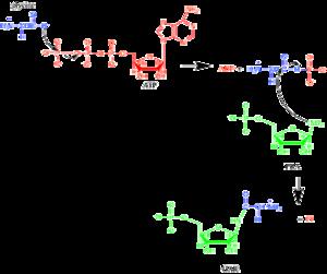 Phosphoribosylamine—glycine ligase - Mechanism for the conversion of PRA into GAR via the enzyme GARS