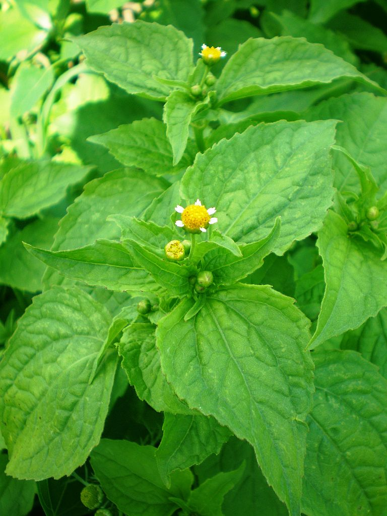 Žltnica maloúborová (Galinsoga parviflora)