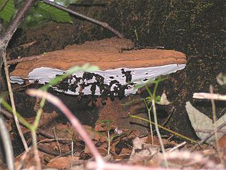 Ganoderma applanatum - Larval galls (black objects) of Agathomyia wankowiczii on an Artist's Bracket fungus