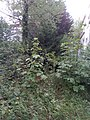 Garden in Munich neglected for more then seven years, showing mainly wild growing acers.jpg