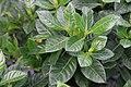 Gardenia augusta Veitchii 7zz.jpg