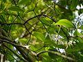 Gardenia resinifera Roth (14511961047).jpg