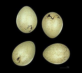 Eurasian jay - Garrulus glandarius's egg