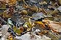 Garter Snake (15558289085).jpg