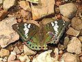 Gaudy Baron Euthalia lubentina Female by Dr. Raju Kasambe DSCN1157 (3).jpg