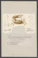 Gelasimus vocans - - Print - Iconographia Zoologica - Special Collections University of Amsterdam - UBAINV0274 006 01 0004.tif