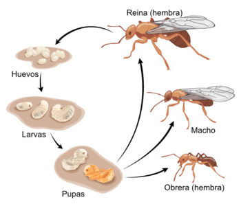 General Ant life cycle es.png