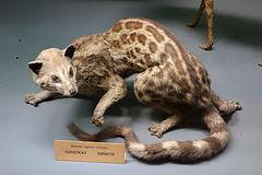 Genetta tigrina - Royal Museum for Central Africa - DSC06781.JPG