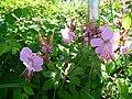 Geranium-Art rosa.JPG