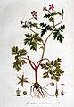 Geranium robertianum — Flora Batava — Volume v1.jpg