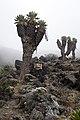 Giant Tree Groundsel.jpg