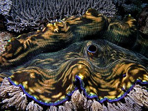 Mantle (mollusc) - The brightly coloured mantle of a giant clam protects it from bright sunlight.