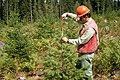 Gifford Pinchot National Forest, silviculture-3 (37001802172).jpg