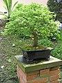 Gijon bonsai 1.jpg