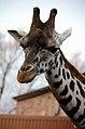 Giraffa camelopardalis -Chester Zoo, England-8a.jpg