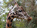 Giraffe head 2a (7110728331).jpg