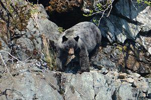 Glacier bear - U. a. emmonsii