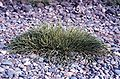 Glasswort Salicornia virginica.jpg
