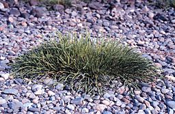 Glasswort Salicornia virginica.jpg