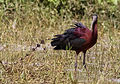 Glossy Ibis (3).jpg