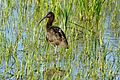 Glossy Ibis (Plegadis falcinellus) immature (25949528624).jpg