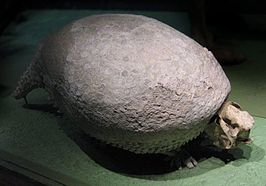 Fossiel van Glyptodon in het National Museum of Natural History.