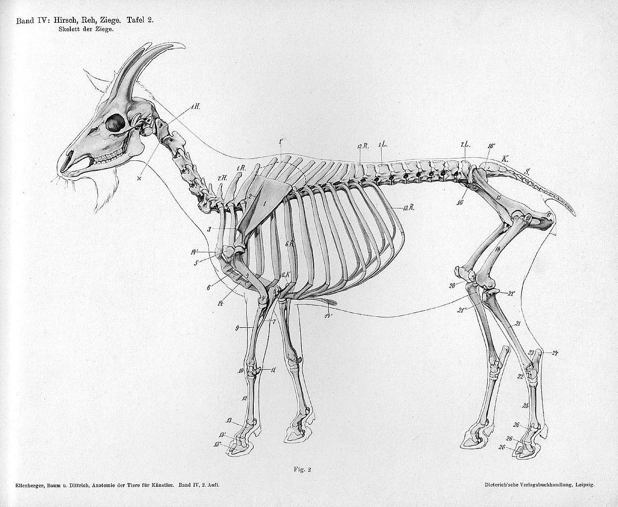 Goat Anatomy Bigking Keywords And Pictures