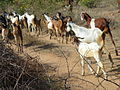 Goats going into forest.JPG