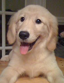 Free Puppies on Puppy   Wikipedia  The Free Encyclopedia