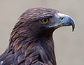 Golden Eagle 3c (6447274107).jpg