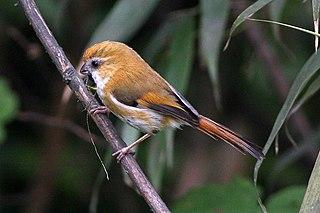 Golden parrotbill Species of bird