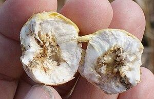 Larva - Eurosta solidaginis Goldenrod Gall Fly larva
