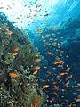 Goldies and reef at Gota Sorayer, Red Sea, Egypt -SCUBA (6369661807).jpg
