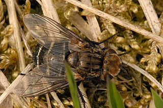 <i>Gonia picea</i> species of insect