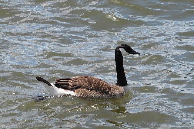 Branta canadensis, or Canada Goose