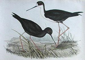 Black stilt - Black stilt (Himantopus novaezealandiae), compared with the closely related pied stilt (H. himantopus). Painted by John Gould.