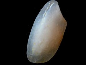 Arborio rice - A macro photo of an Arborio rice grain