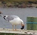 Gråtrut European Herring Gull (13041840573).jpg