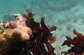Gracilaria canaliculata.jpg