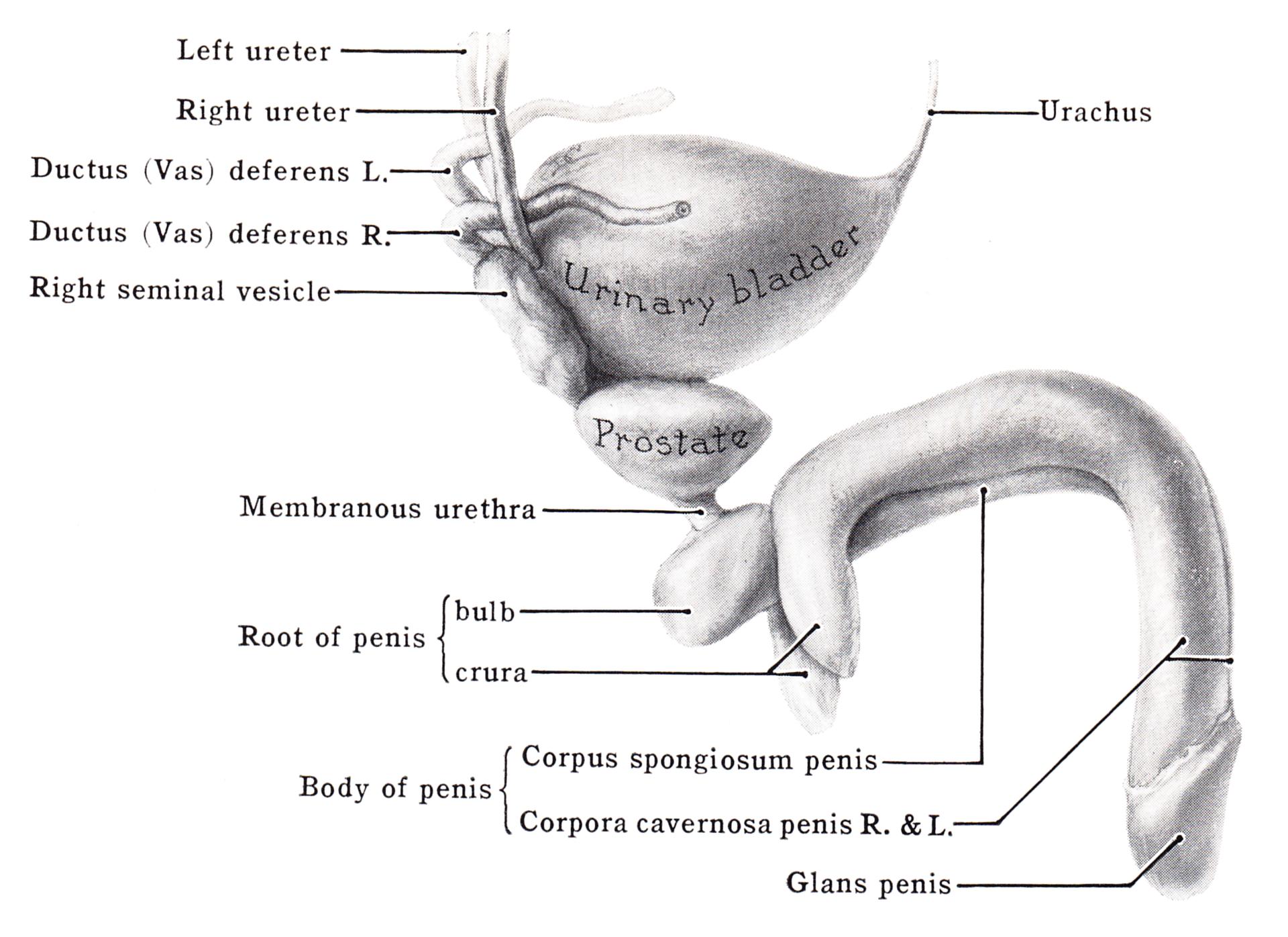 Penile shaft anatomy