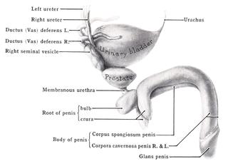 Corpus spongiosum penis