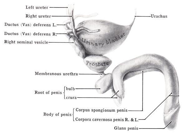 corpus spongiosum penis - wikiwand, Human Body