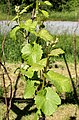 Grapevine leaves in Lysekil.jpg